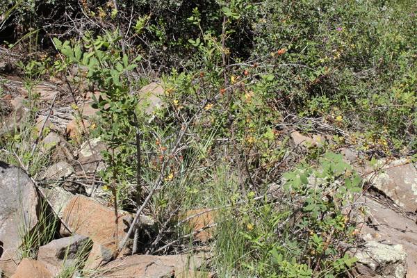 Bush berries, Rhus Trilobata© Nausica Zaballos, 2011, près de Flagstaff...