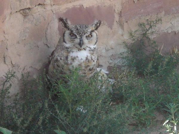 Hibou photographié dans la réserve, juillet 2006.